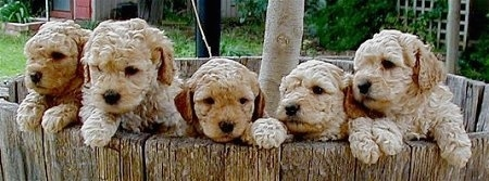 A litter of five Australian Labradoodle puppies inside of a wooden tree well