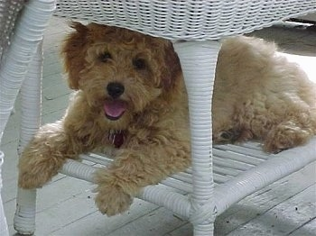 The left side of a tan Australian Labradoodle that is laying in the under part of a white wicker table with its mouth open and it is looking forward.