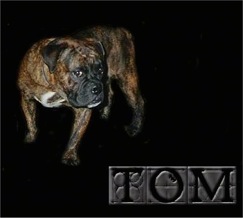 Full body shot of a Buldogue Campeiro photoshopped onto a black background with the words 'TOM' overlayed