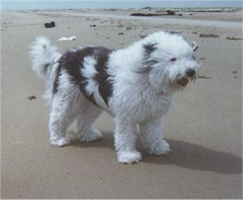 Shaggy the Bearded Collie standing on the beach with the wind blowing across him