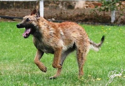 Action shot - Belgian Shepherd Laekenois running around outside with its mouth open