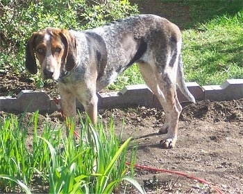 Lydia the tan, black and white English Coonhound is standing in dirt and there is a little bit of grass in front of her