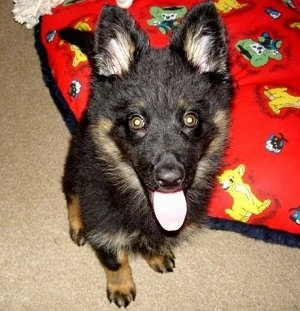 Close Up - Nicka the Bohemian Shepherd Puppy sitting on a red Lion King blanket with its mouth open and tongue out