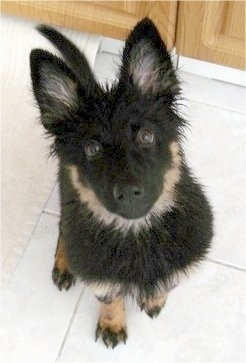 Nicka the Bohemian Shepherd puppy all wet and sitting in the kitchen