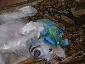 Goldilocks the Borzoi laying on its back on a rug with a toy in its head