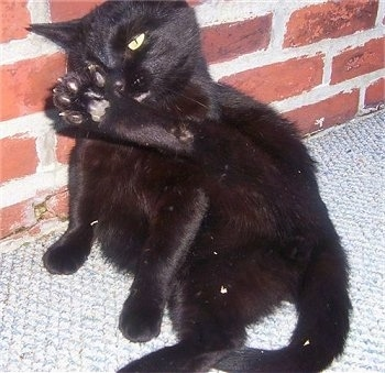 A black cat is sitting against a brick wall with its leg up and licking itself clean