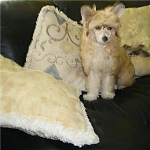 Tequila the Chinese Crested Powder Puff puppy is sitting on a black leather couch in front of a row of pillows