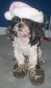 Pippin the Shih Tzu is standing in a room wearing leopard print slippers and a pink Santa hat