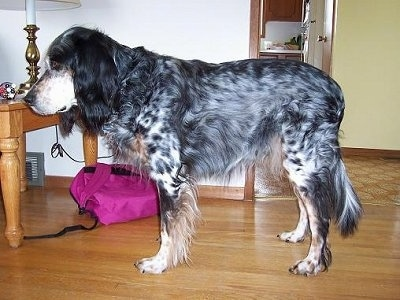 Left Profile - Freckles the black, white and tan ticked tri-color English Setter is standing in a room. There is a table with a lamp on it behind him. There is a pink backpack next to the table