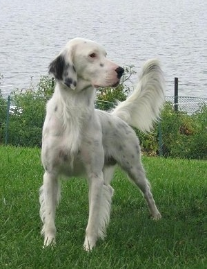 Hall's General Jackson the white with black ticked English Setter is standing in grass and looking to the right. There is a body of water behind him