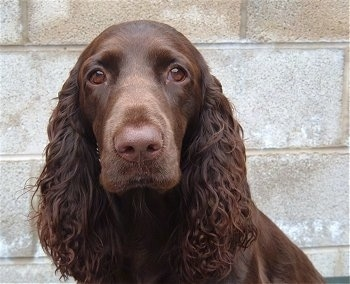 Close up head shot - A brown Field Spaniel is sitting in front of a cinder block wall.