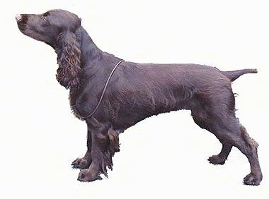 Left Profile - A brown Field Spaniel is posing. The background is all white