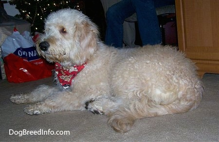 A Goldendoodle is wearing a red ribbon laying on a tan carpet next to a Christmas tree with a person next to it.