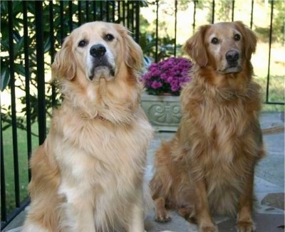 Two Golden Retrievers are sitting on a stone porch. There is a flowering potted plant behind them. One dog is cream and the other is red colored.
