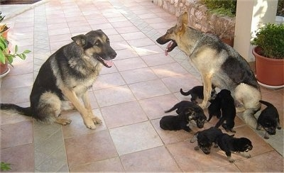 Two black and tan German Shepherds are sitting in front of each other. There is a litter of German Shepherd puppies surrounding one of the adult dogs