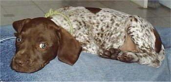 A white with brown ticked German Shorthaired Pointer puppy is laying down in between a persons legs who is wearing blue jeans.