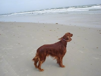 A red Irish Setter is standing at a beach and looking at the waves
