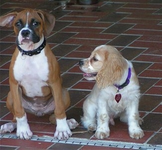 A brown with white Boxer puppy and white with tan Cocker Spaniel puppy are sitting on a brick porch. The Cocker Spaniel puppy is looking to the left at the Boxer puppy.