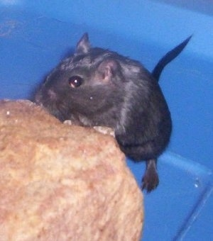 A black Gerbil is standing up against a rock sniffing it inside of a blue plastic cage.