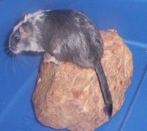 A slate & white pied Gerbil is standing on a rock inside of a blue box.