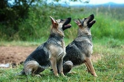 Two wet black and tan German Shepherds are sitting side by side in a field looking up.
