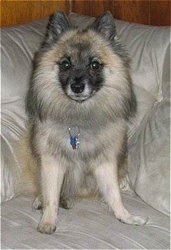 A tan, white and black German Standard Spitz is sitting on a tan couch