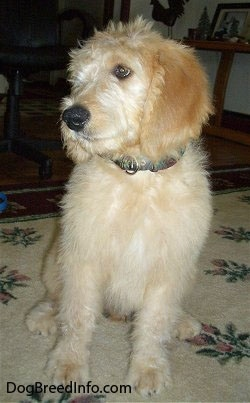 A cream and tan colored Goldendoodle puppy is sitting on a rug looking to the left