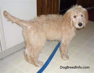 A Goldendoodle puppy is standing on a white tiled floor in a kitchen in front of a refrigerator