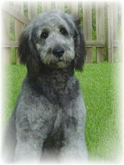 A grey with white and black Goldendoodle is sitting in grass in a yard with a wooden fence behind it