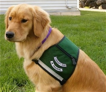 A Golden Retriever is sitting in a yard wearing a vest that has the words - Therapy dog in training - on it
