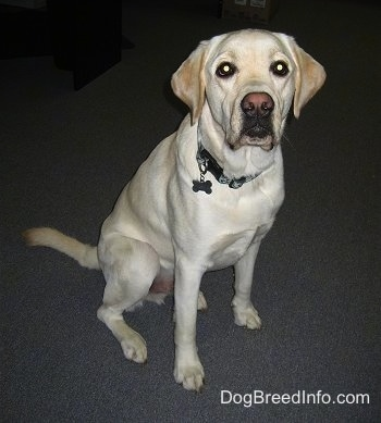 Front view - A big yellow Labrador Retriever is sitting on a grey carpet and it is looking forward.