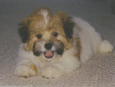A happy looking white, tan with black Kimola puppy is laying on a tan carpet. Its mouth is open and tongue is out