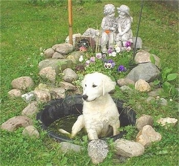A white Kuvasz puppy is sitting outside in a small black fish pond in water with rocks and a stone statue of a girl sitting with a boy behind it. There are flowers in front of the statue and behind the dog.