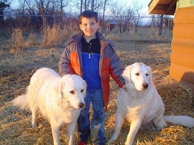 A boy is standing in grass in-between a sitting and standing large white Kuvasz dog next to a brown dog house with a chain link fence in the distance.