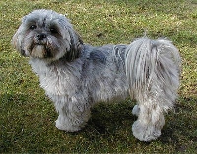 Side view - A grey Lhasa Apso is standing in grass and looking up and to the left.