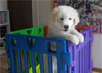 A furry, white Maremma Sheepdog is jumped up at the purple side of the inside of a plastic cube enclosure inside of a house. The other sides are red, green and blue.