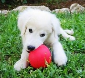 View from the front - A white Maremma Sheepdog is laying in grass and chewing on a big red ball.