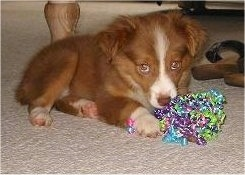 A red with white Miniature Australian Shepherd is laying on a tan carpet with a colorful ribbon shaker in front of it and a pair of brown sandles behind it.