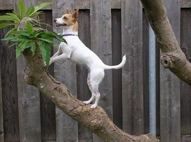 A white with tan Miniature Fox Terrier is standing up on the top of a tree limb with a wooden privacy fence behind it.