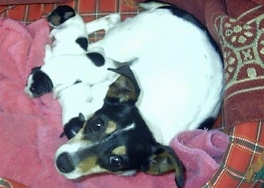 A tricolor white with black and tan Miniature Fox Terrier is laying in a dog bed next to a pink blanket with a litter of puppies next to it.