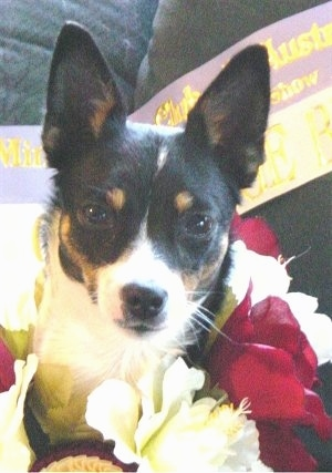 Front view head shot - A tricolor white with black and tan Miniature Fox Terrier is laying on a couch surrounded by red and white flowers with a sash behind it.