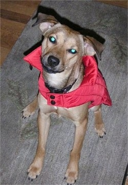 Sonny a tan medium-sized mixed breed dog is wearing a red windbreaker sitting on a mat and looking up at the camera holder