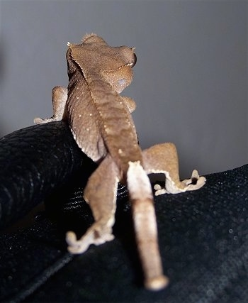 The back of a brown New Caledonian Crested Gecko is standing on a black piece of cloth.