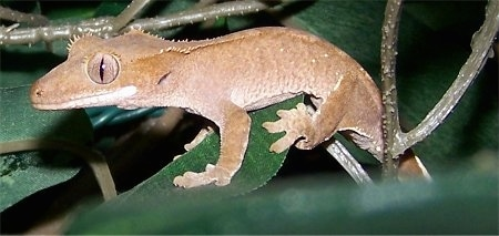 Close up side view - A New Caledonian Crested Gecko is standing across a leaf.
