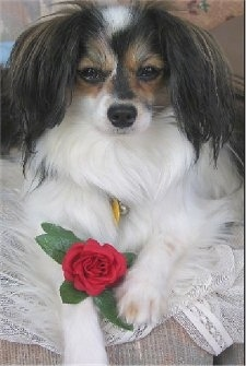 Close up front view - A white with black and brown drop-eared Papillon is laying on a couch on top of white lace with a red rose on its front paw. The hair on its ears is longer than the rest of its body.