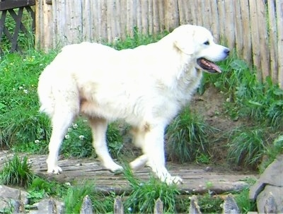 A white Polish Tatra Sheepdog is walking across a wooden walkway. Its mouth is open and its tongue is out. It is looking at a wooden fence.