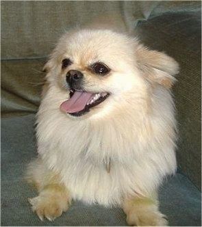 Front view - A tan with white Pomchi is laying on a couch and it is looking up and to the left. It is panting.
