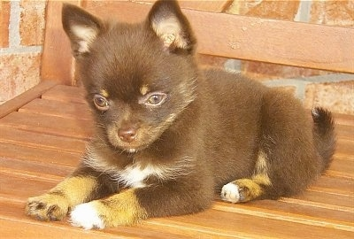 A small, shorthaired, black with tan and white Pomchi puppy is laying outside on a wooden bench in front of a brick wall.