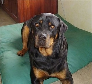A thick, wide, huge black with brown Rottweiler is laying on a green pillow and it is looking up and to the left. The dog has round golden brown eyes.