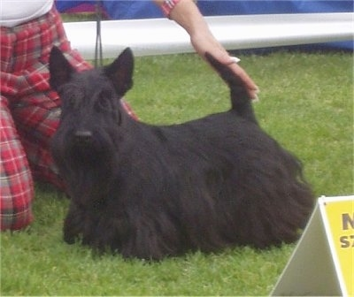 Side view - A black Scottish Terrier is standing outside in grass. A person on their knees is touching the tail of the dog. The dog is in a show stack pose and has longer hair on its belly and perk ears.